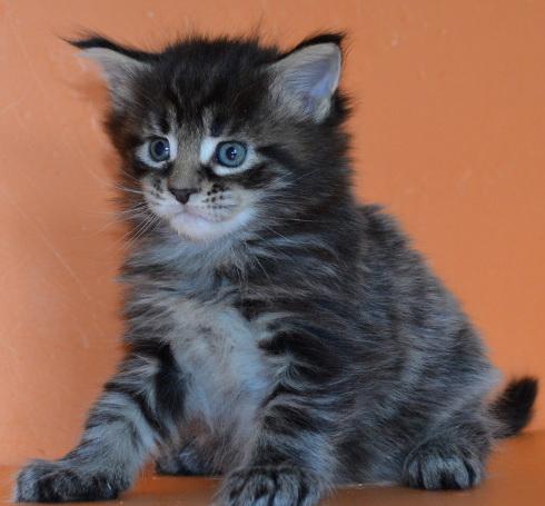 """Питомник """"Mister Coon"""", котята Мейн кун"""
