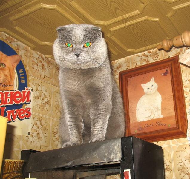 Шотландский вислоухий котик для вязки