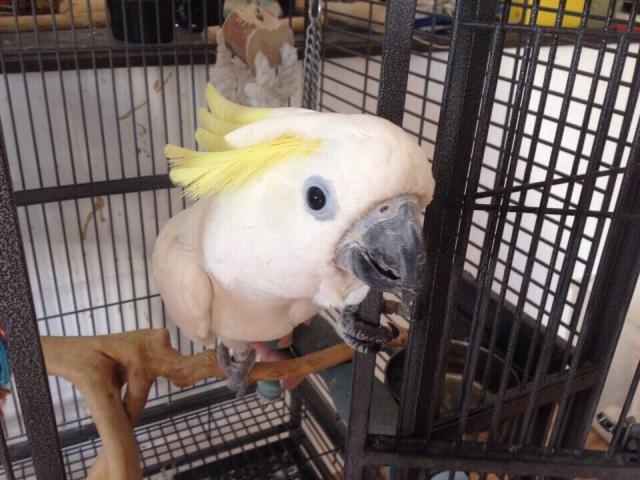 В продаже ручные и окольцованые птенцы жёлтохохлого какаду
