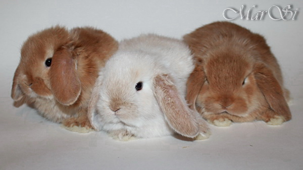 Карликовые крольчата, вислоухие и цветные карлики, продажа