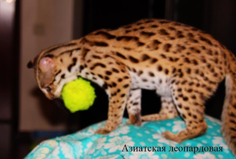 Азиатская леопардовая кошка - котята из зоопитомника