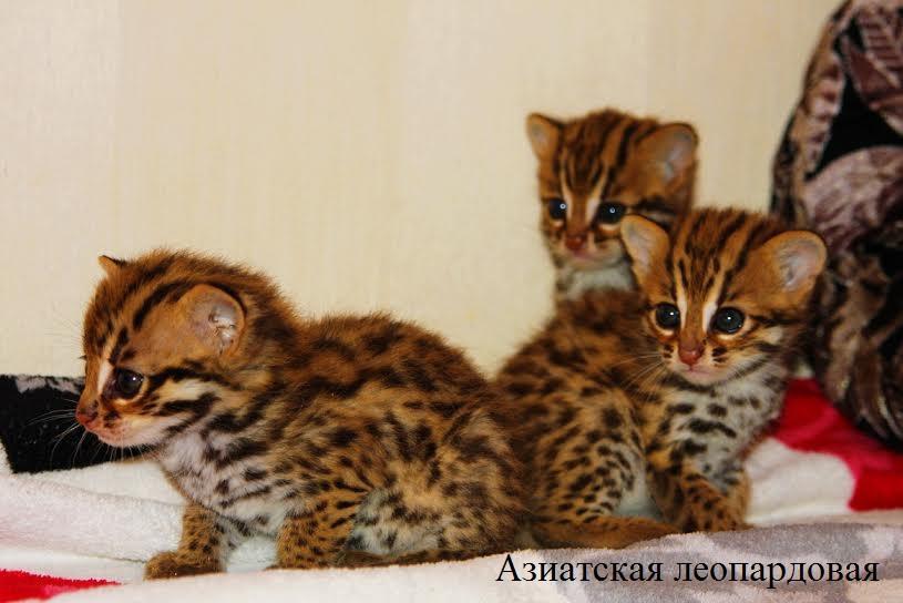 леопардовые котята фото