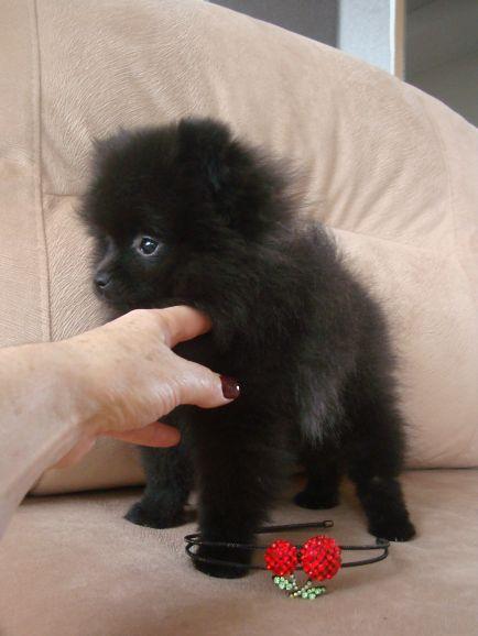 Девочка-кроха, щенок померанского шпица от Ирлайн-дог