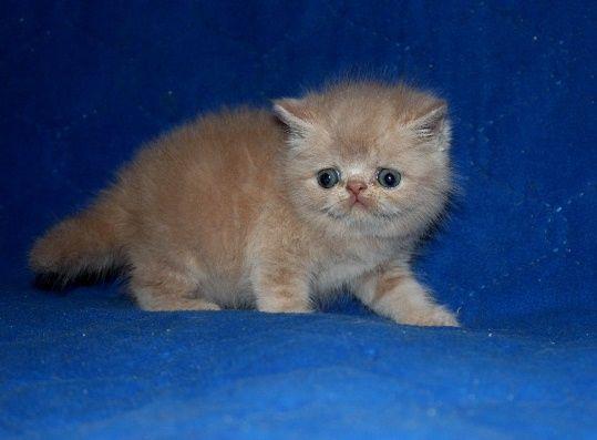 Экзотический кремовый котик