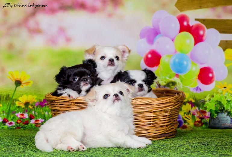 Очаровательные щенки чихуахуа