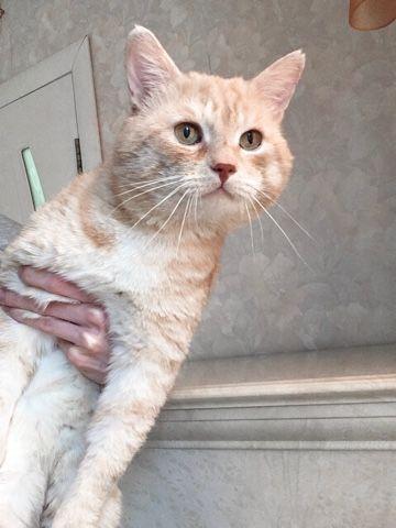 Абрикосовый кот ищет дом