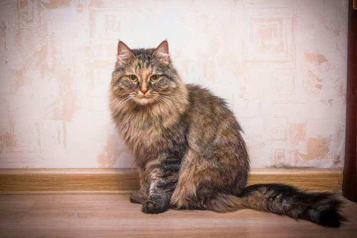 Кошка Пушинка (метис сибирской) ищет дом