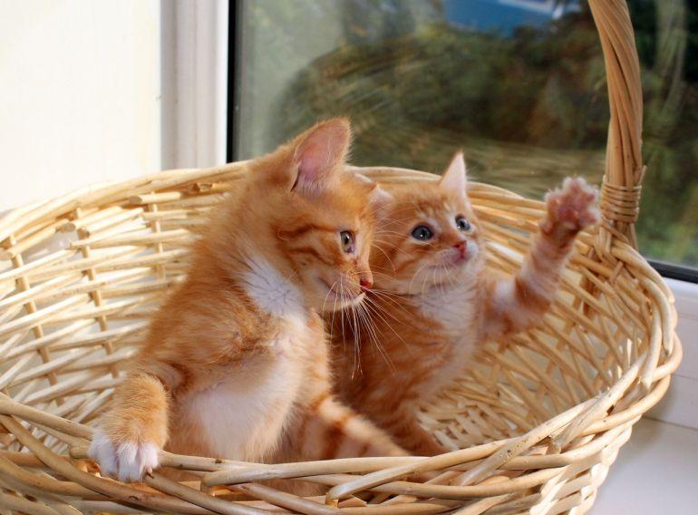 Пушистики-котятки, сладкие ягодки, 2 месяца, в дар