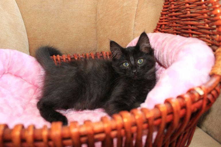 Милый маленький Мишутка, котёнок в дар, 3 месяца
