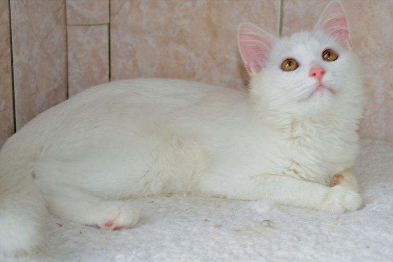 Белоснежный котёнок Кокосик в дар