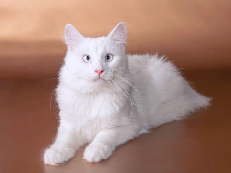 Ангорский молодой кот Лёвка