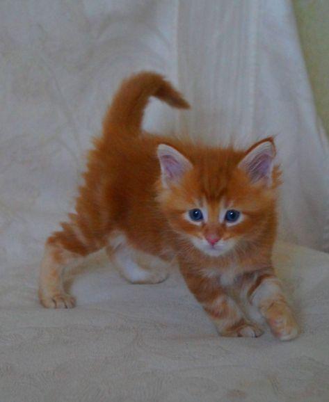 Красные котята Мейн-кун