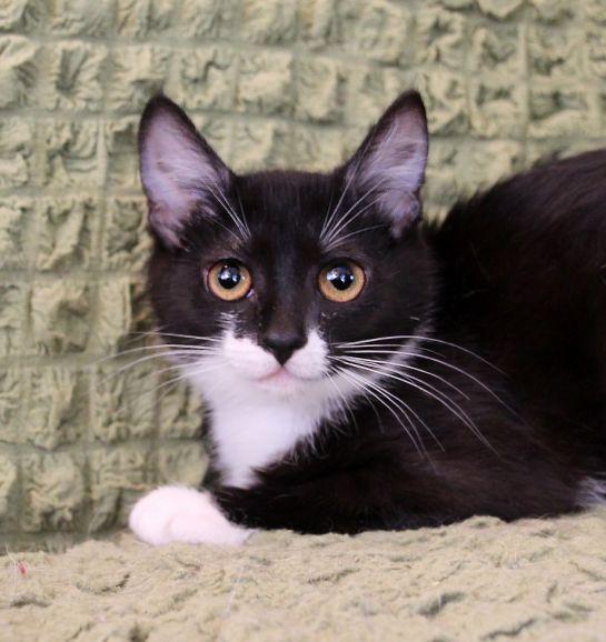 Котёнок Брусничка - прелестная, трогательна девочка в дар
