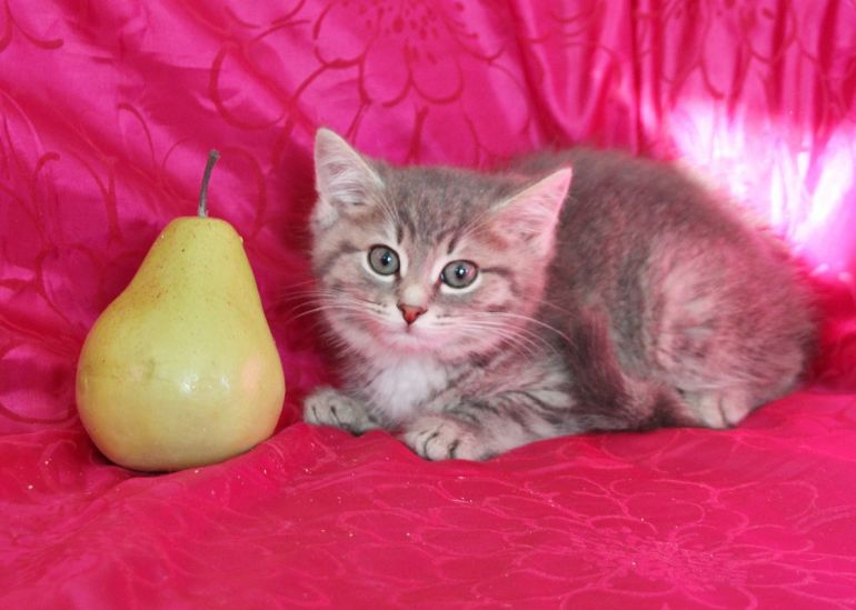 Котёнок Алия - нежная пуховочка в дар