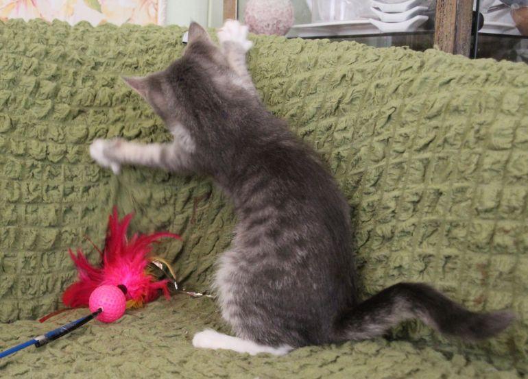 Котёнок Шурочка ласковая девочка в дар