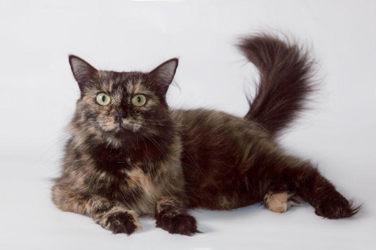 Ласковая черепаховая кошка Пуня