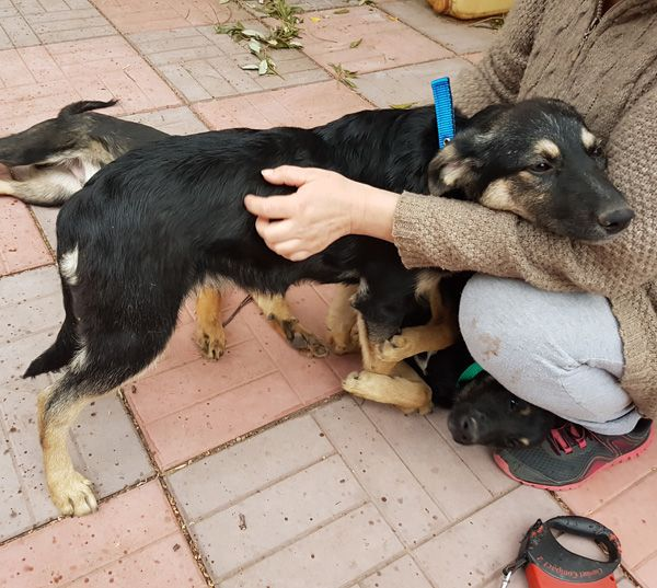 В добрые руки 5 месячный щенок - обаятельнейшая Тина