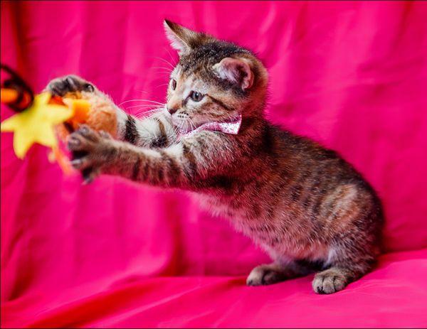 Котята Кекс и Шпулька, маленькие совершенства в добрые руки