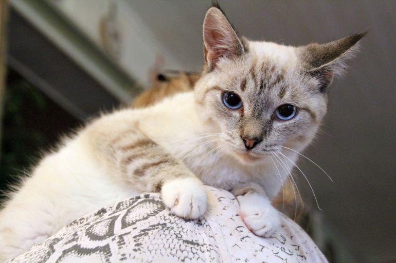 Тайский котёнок-подросток Аякс ищет дом