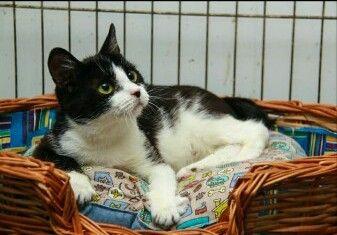 Ищет дом чудесная миниатюрная кошка Пяточка