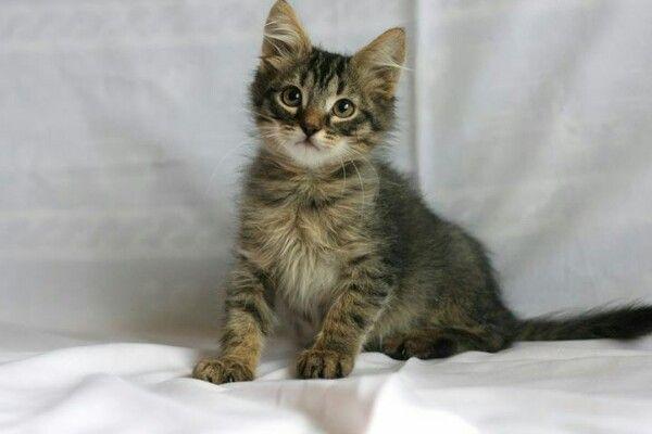 Прекрасный фенотипичный сибирский котёнок Потап