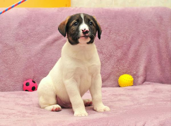 Микки - 2 месяца, щенок в добрые руки