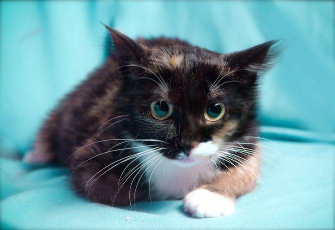 Котёнок Агата яркая трехцветка в дар