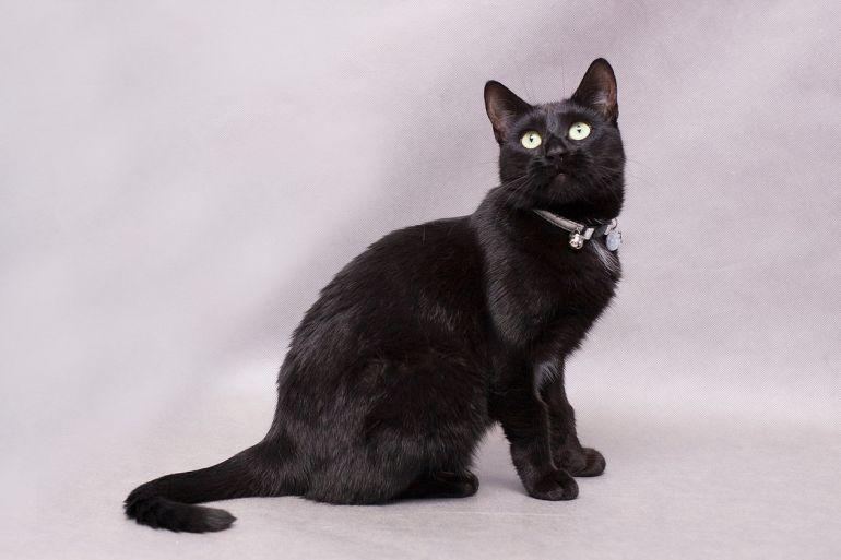 Шикарная кошка Багира ищет дом, в дар