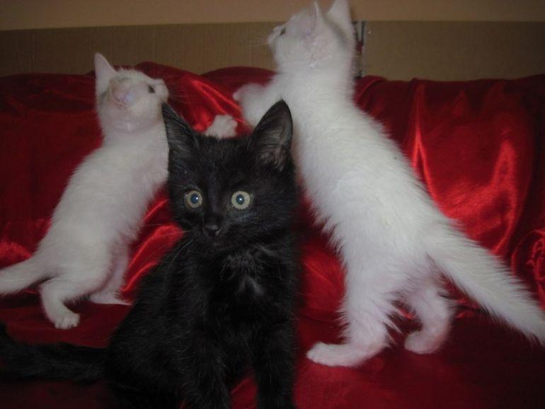 Белый, чёрный и белый котята
