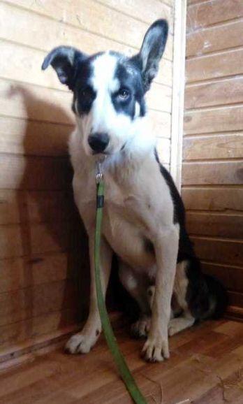 Большой пёс Максик ищет дом и любящую семью