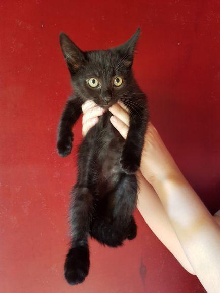 Агата и Багира, 2 месяца, котята в добрые руки