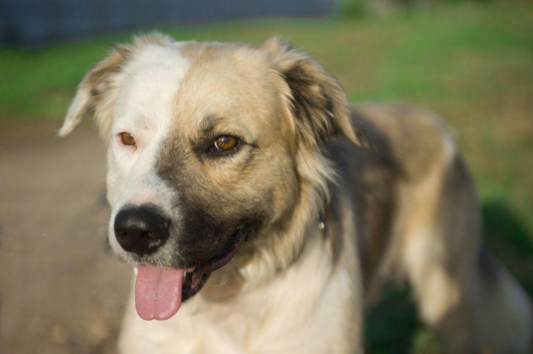 Уникальный пёс-химера ищет дом