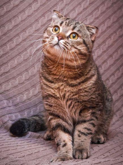 Рокошный вислоухий котяра Бруно
