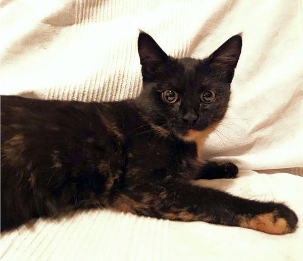 Миниатюрная красавица, 5 месяцев, кошечка Дайра ищет дом