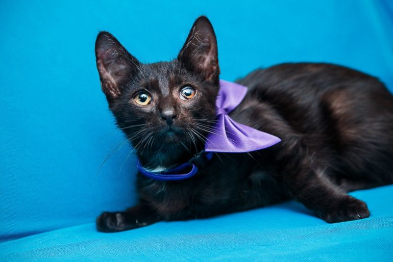 Маленький Цезарь, покоритель сердец, котёнок в дар