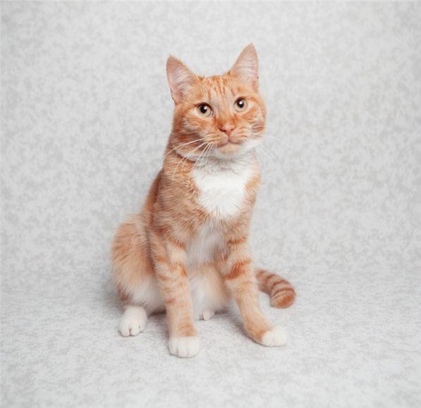 Рыжее солнышко котик Стас ищет любящих родителей
