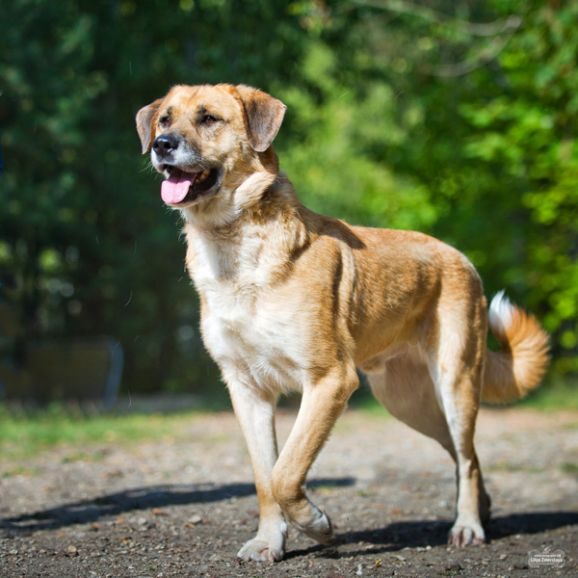 Надёжный и благородный Грэм - крупный пёс в добрые руки
