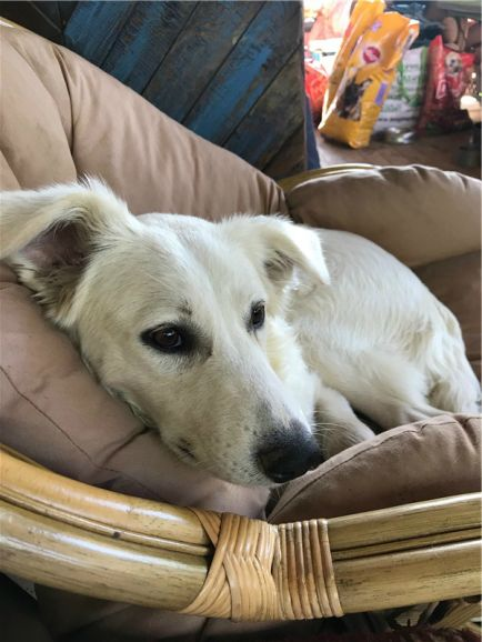 Чудесный щенок Белочка ищет дом