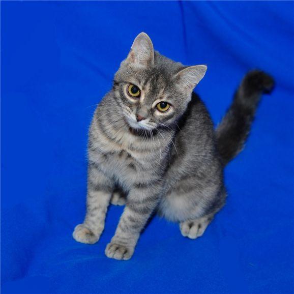 Кошечка Тиграша (девочка, 5 месяцев) в добрые руки