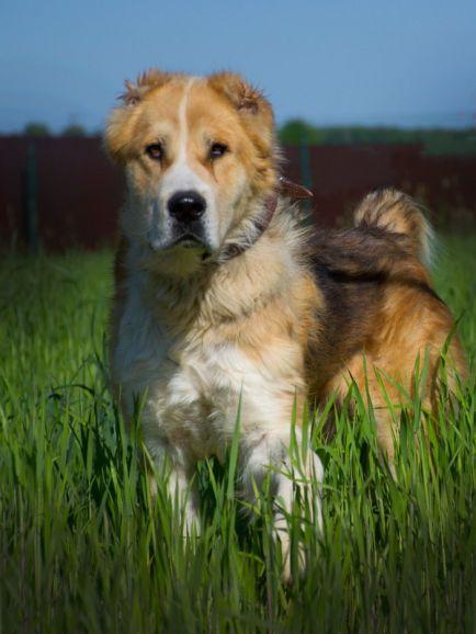 Алтын - шикарный пёс ищет дом