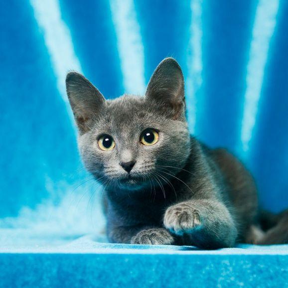 Отдам голубого котёнка