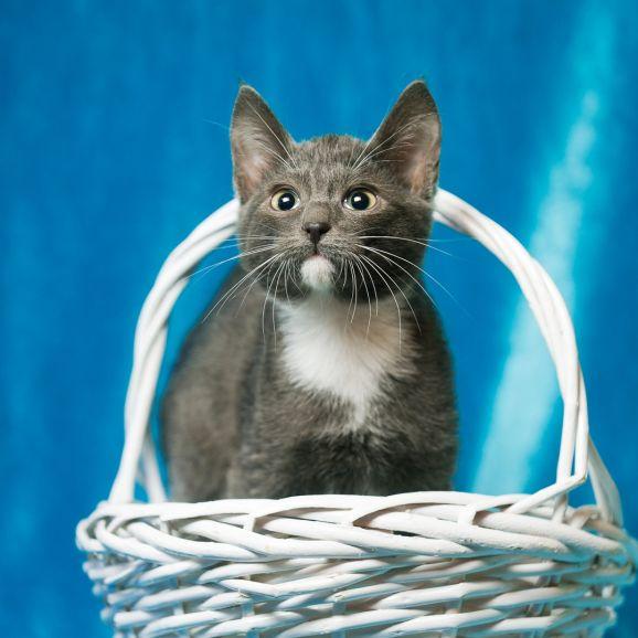 Отдам бело-голубого котёнка