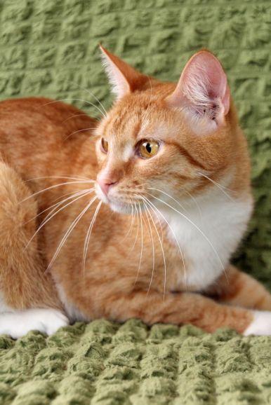 Застенчивый рыжик котёнок Юлиус в дар