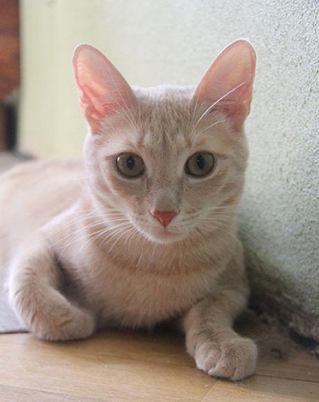 Котенок подросток Митрич - персиковое настроение в дар