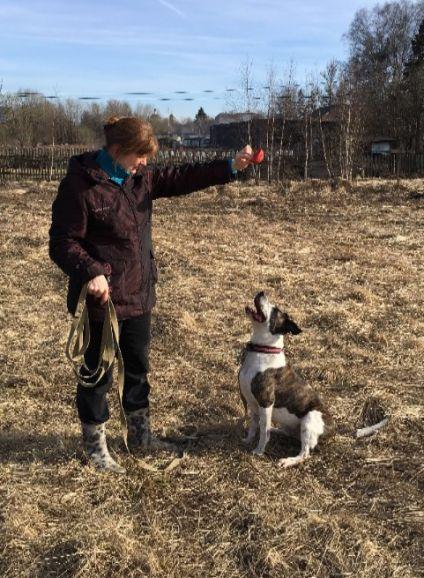 Пёс Тануки стаффордширский терьер ищет надёжных хозяев