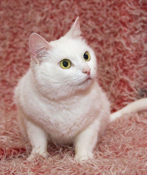 Ищет дом белоснежная кошка Муся, ласковая и трогательная