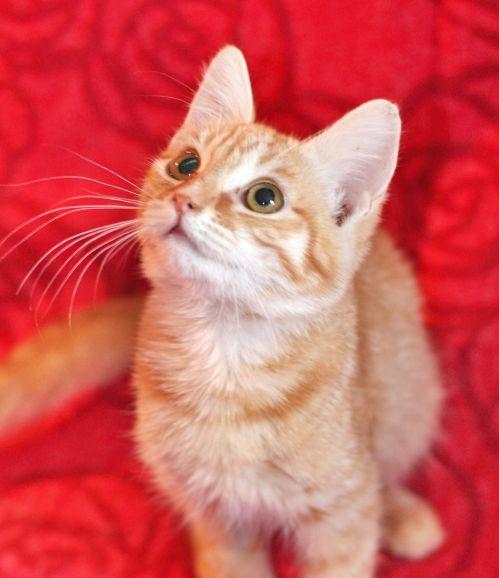 Котёнок Мила - рыжуля в дар