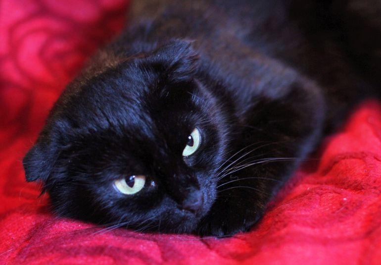 Маленькая чёрная вислоушка Багира ищет дом