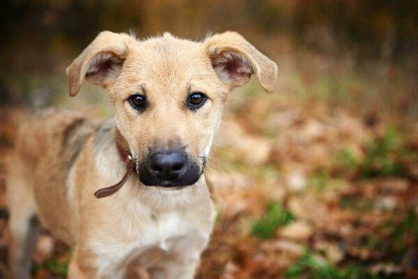 Верный и преданный щенок в добрые руки
