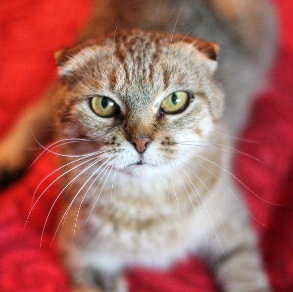 Шотландская вислоухая кошечка Джиджи ищет дом